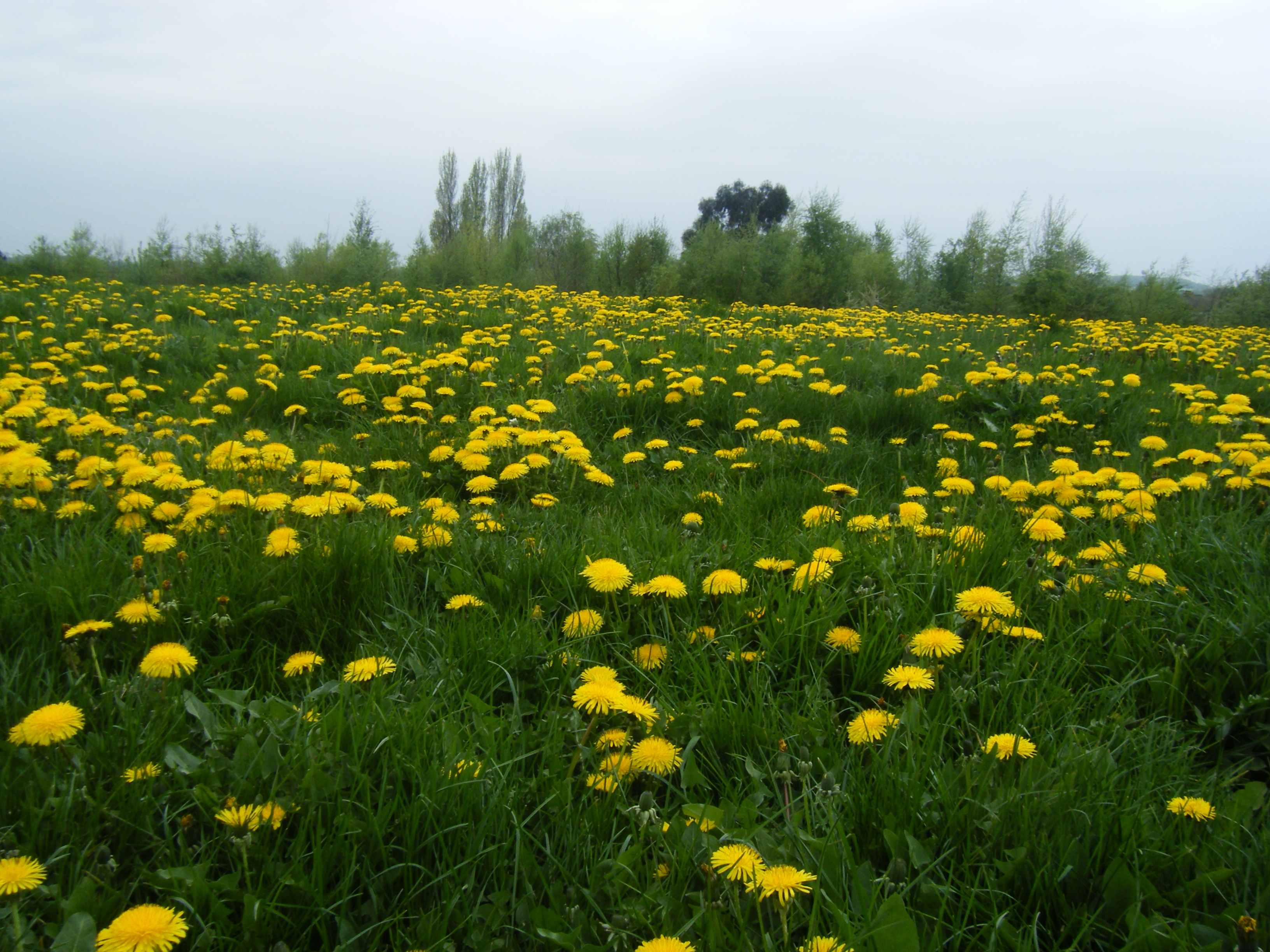 Field of dandelions at Warren House Park