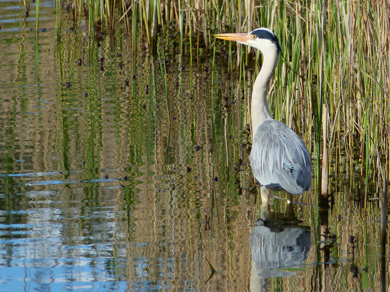 A Heron showcases the biodiversity of the Land Trust's sites