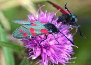 Two Burnet moths on a flower.