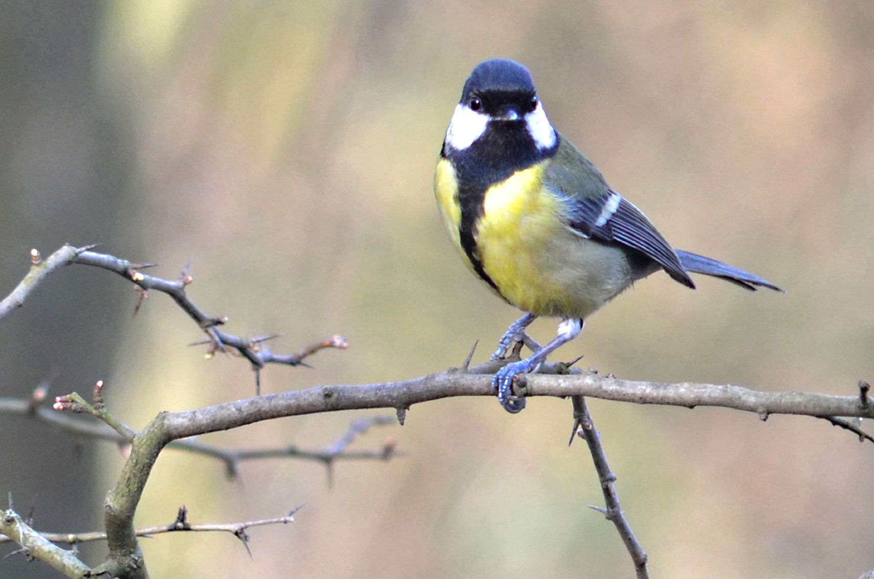 Great Tit perched on a branch at Monkton Community Woodland. Copyright Tony Cutter..