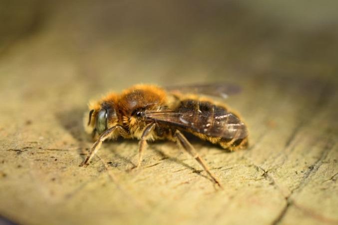 Viper's Bugloss Mason Bee