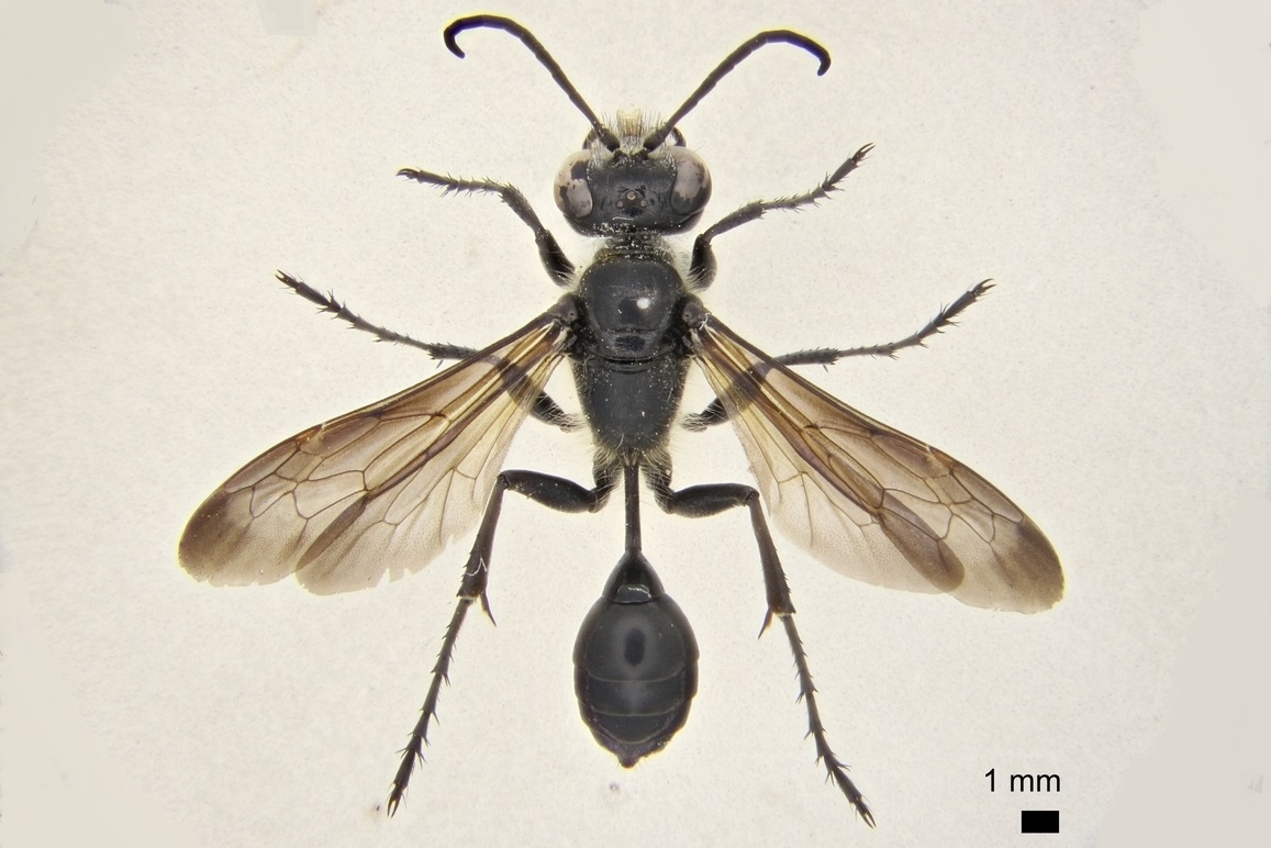 Isodontia mexicana (de Saussure), Grass-carrying wasp (C) Natural History Museum, London