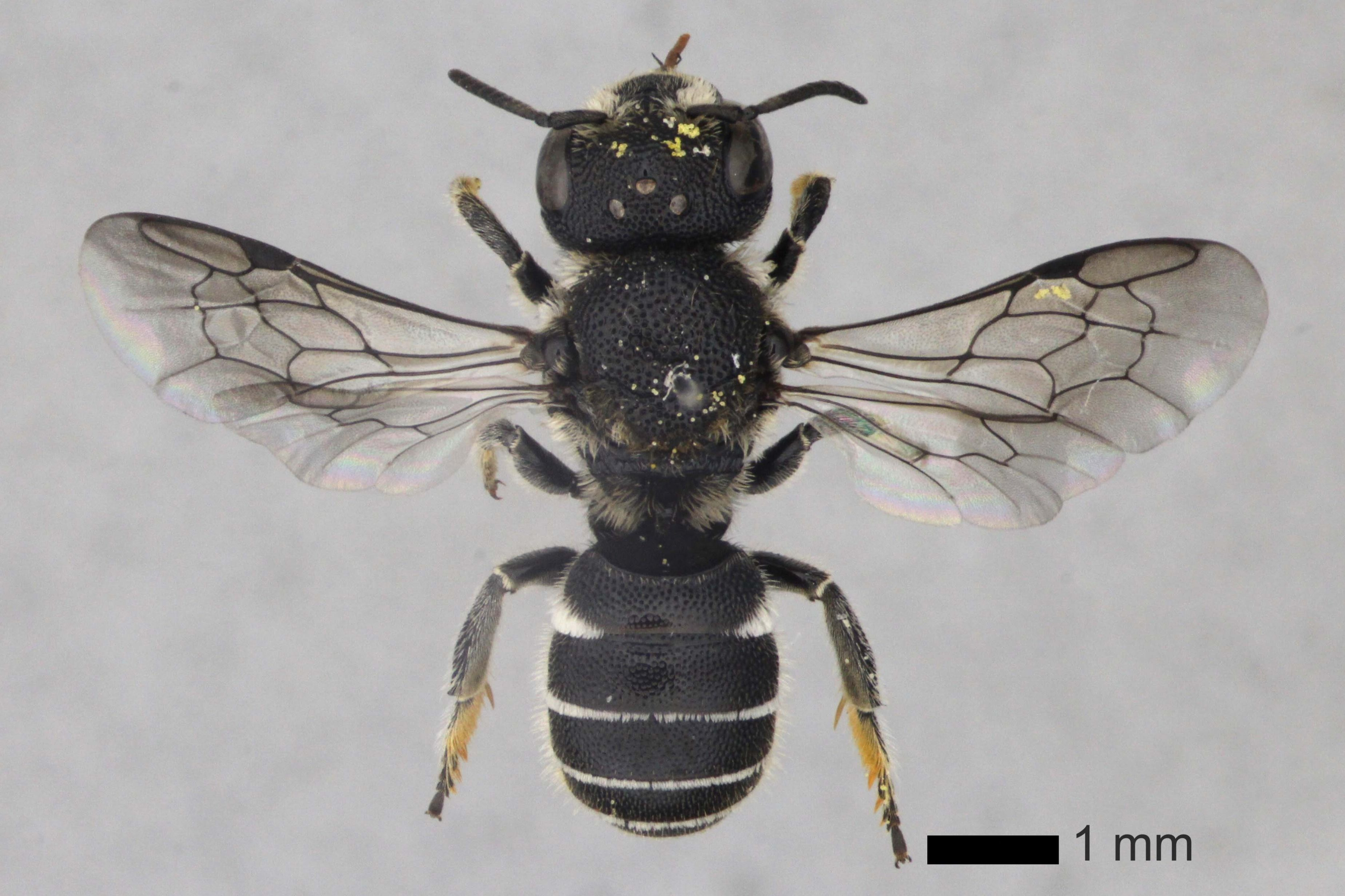 Female Small-headed resin bee, (C) Natural History Museum