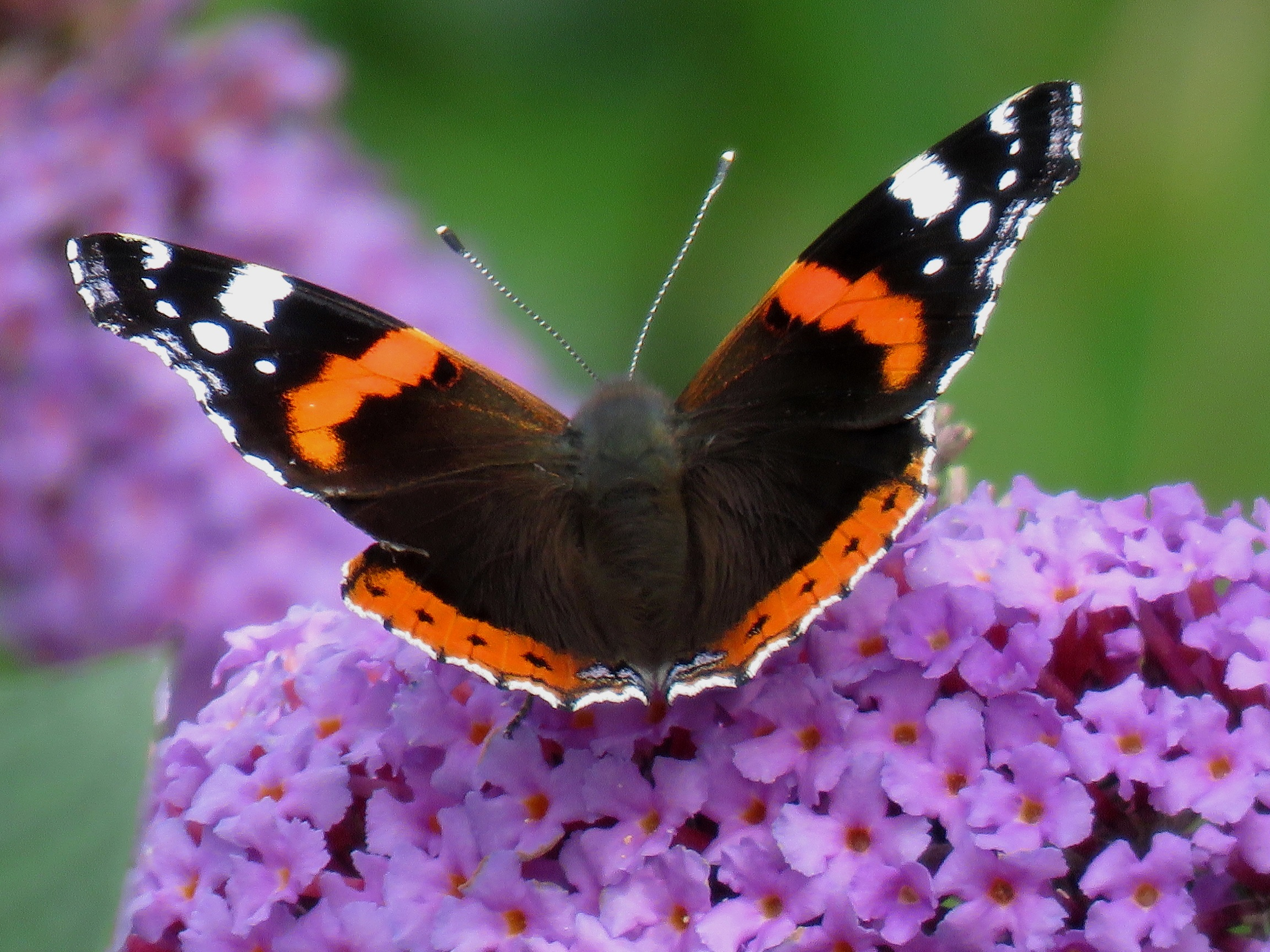 Red admiral butterfly at Brook Park (c) Ian Hurst