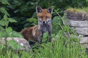 Alan Leech - PSRP - Fox